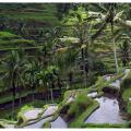 Bali rice terraces